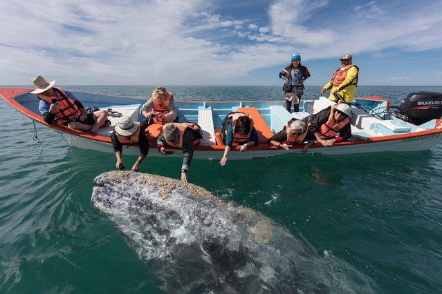 A grey whale breaches from the water to greet tourists in boat in, Baja California, Mexico, March 2017. (Photo by  Mark Carwardine/Barcroft Images)