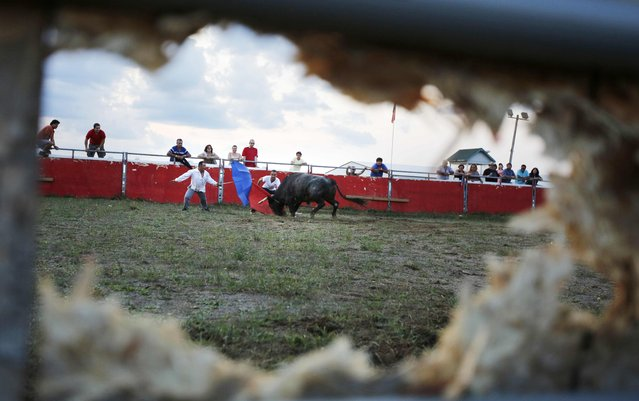 """Viewed from a hole punched through a wooden fence by the horns of a bull, a fighting bull chases matadors Marco Espinola and Ricardo Miranda (L) during an Azorean """"tourada a corda"""" (bullfight by rope) in Brampton, Ontario August 15, 2015. (Photo by Chris Helgren/Reuters)"""