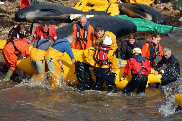 Emergency services attempt to rescue a large number of pilot whales who have beached on September 2, 2012 in Pittenweem near St Andrews, Scotland. (Photo by Jeff J. Mitchell)