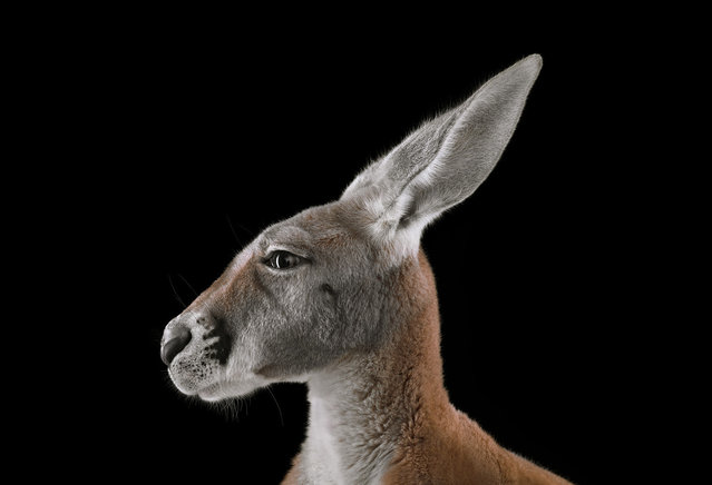 Kangaroo. (Photo by Brad Wilson)