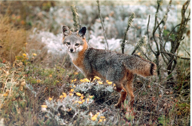 This undated photo provided by the U.S. Fish and Wildlife Service shows an island fox amid native shrubbery in Channel Islands National Park, Calif. (Photo by Chuck Graham/U.S. Fish and Wildlife Service via AP Photo)