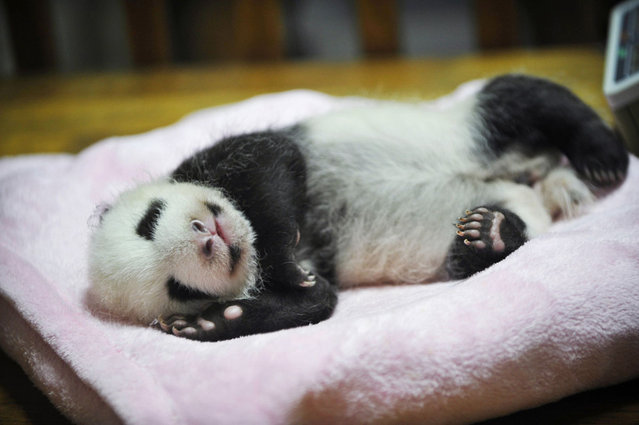 A 46-day-old baby giant panda sleeps on its bed at the Chengdu Research Base of Giant Panda Breeding in Sichuan province October 18, 2012. (Photo by Stringer/Reuters)
