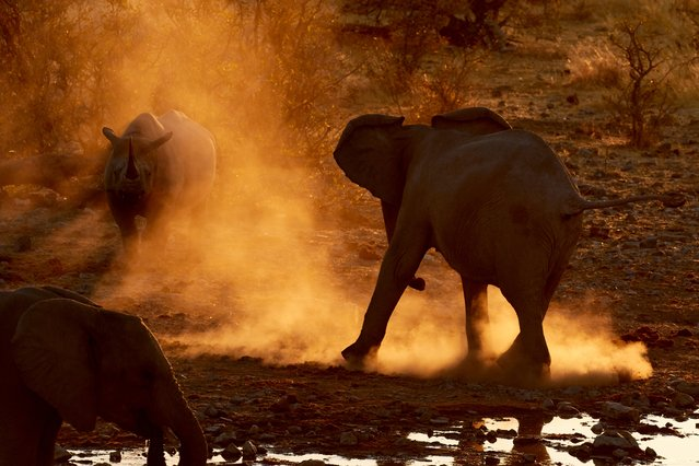 A female black rhino confronts a herd of elephants at the Moringa waterhole in Etosha national park, Namibia on August 17, 2016. (Photo by Andrew Forsyth/Barcroft Images)
