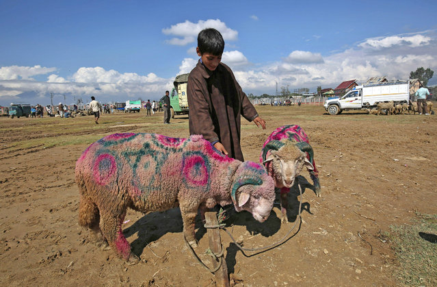 A young Kashmiri stands with sheep at a make-shift cattle market ahead of Eid al-Adha festival in Srinagar, the summer capital of Indian Kashmir, September 23, 2015. Millions of Muslims around the world are preparing to celebrate the Eid al-Adha feast, set for 24 September this year, when they will slaughter cattle, goats and sheep in commemoration of the Prophet Abraham's readiness to sacrifice his son to show obedience to God.  (Photo by Farooq Khan/EPA)