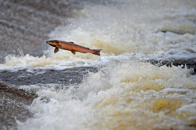 Salmon attempt to leap up the fish ladder in the river Etterick on October 27, 2014 in Selkirk, Scotland. The salmon are returning upstream from the sea where they have spent between two and four winters feeding with many covering huge distances to return to the fresh waters to spawn. (Photo by Jeff J. Mitchell/Getty Images)