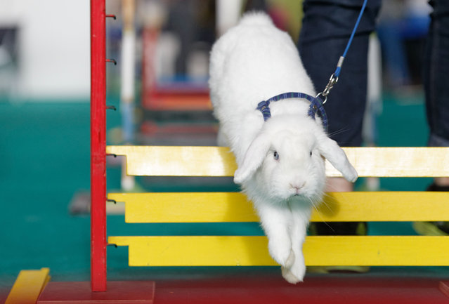 Rabbit showjumping at an animal fair in Stuttgart, Germany, on November 16, 2014. (Photo by Action Press/Rex Features)