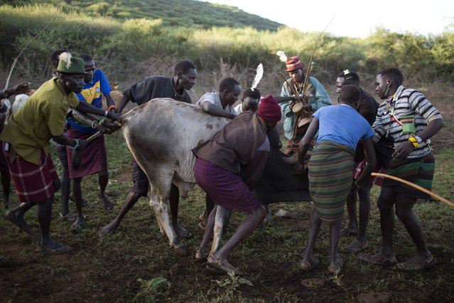 Pokot men grab a bull for an elder of the community to bless during an initiation ceremony of over a hundred girls passing over into womanhood, about 80 km (50 miles) from the town of Marigat in Baringo County December 6, 2014. The ceremony will last one night and through the next day. (Photo by Siegfried Modola/Reuters)