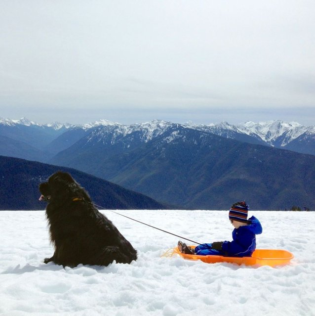Max stops to take break from pulling Julian in his bright orange sled. (Photo by Stasha Becker/Rex Features)
