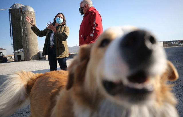 Democratic Senate Candidate Theresa Greenfield (L) speaks with owner Phil Short while touring the Short Family Farm as the farm's dog Tuffy plays nearby during Greenfield's RV tour across Iowa on November 2, 2020 in Winthrop, Iowa.  Greenfield is in a tight race with Republican incumbent Sen. Joni Ernst (R-IA). (Photo by Mario Tama/Getty Images)