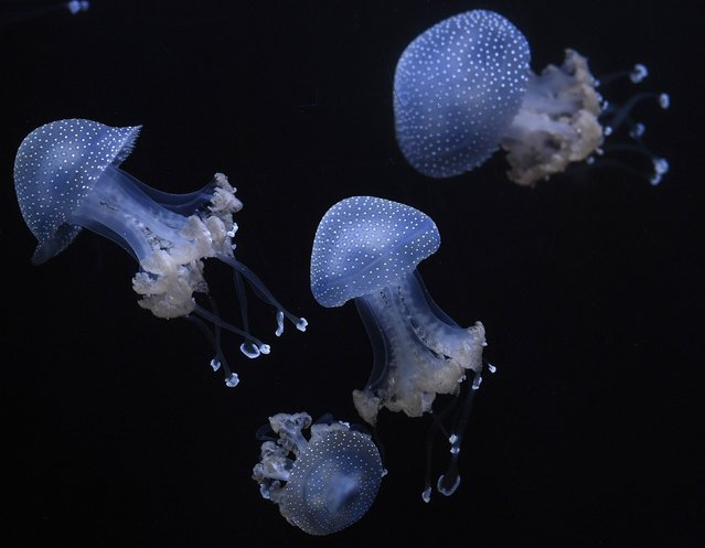 White-spotted jellyfishes are pictured during the annual inventory in Hagenbeck's zoo in Hamburg, northern Germany on December 29, 2014. (Photo by Fabian Bimmer/Reuters)