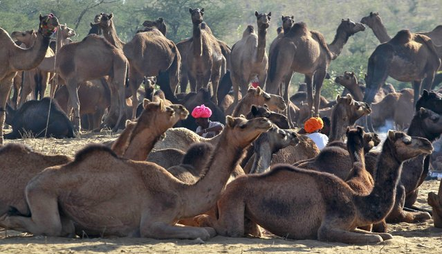 Camel traders wearing traditional headgears sit amid their camels at the Pushkar Fair in Rajasthan, India, November 20, 2015. Thousands of animals, mainly camels, are brought to the annual fair to be traded. (Photo by Jitendra Prakash/Reuters)