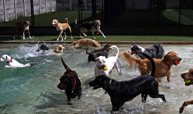 """Dogs play in the inground pool in one of the many large play areas at Fuzzy Buddies in Tampa. Fuzzy Buddies, """"a recreational resort for pets"""", offers daycare, boarding and grooming, on July 11, 2013. (Photo by Eve EdelheitThe Tampa Bay Times)"""