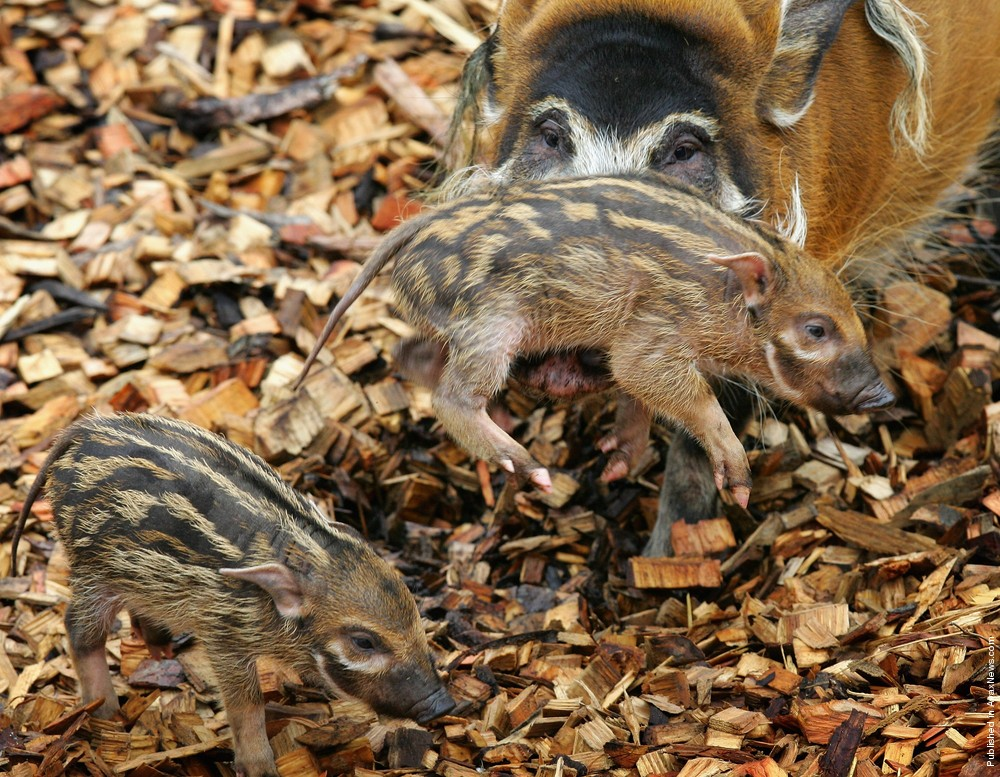 Simply: Red River Hog
