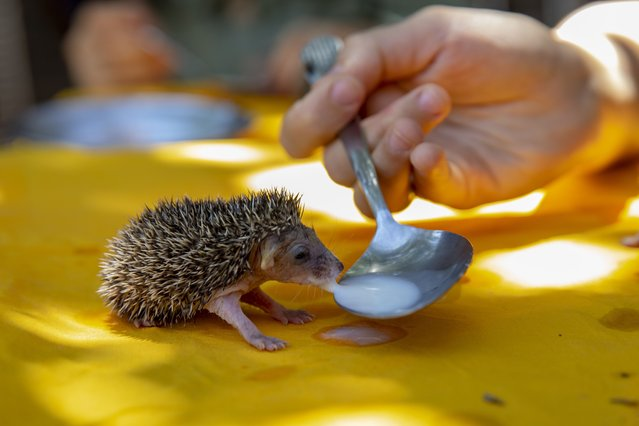 A kid feeds a hedgehog as Suer family looks after the 7 hedgehogs they adopted after their mother died in Cinar district of Diyarbakir, Turkey on July 07, 2021. (Photo by Bestami Bodruk/Anadolu Agency via Getty Images)