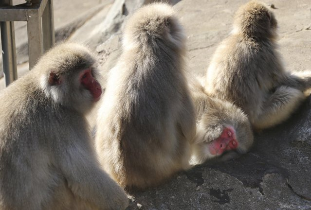 Macaques groom each other in the winter sunshine at Ueno Zoo in Tokyo, Saturday, January 7, 2017.  The temperature of Tokyo's metropolitan area dropped to near zero degree Celsius (32 F) Saturday morning. (Photo by Koji Sasahara/AP Photo)