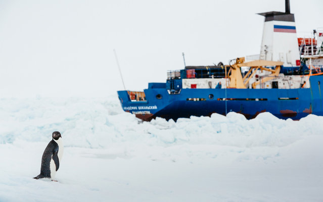 This image taken by expedition doctor Andrew Peacock of www.footloosefotography.com on December 31, 2013 shows an adelie penguin near the MV Akademik Shokalskiy (R), still stuck in the ice off East Antarctica, as the ship waits for a possible helicopter rescue. (Photo by Andrew Peacock/AFP Photo)