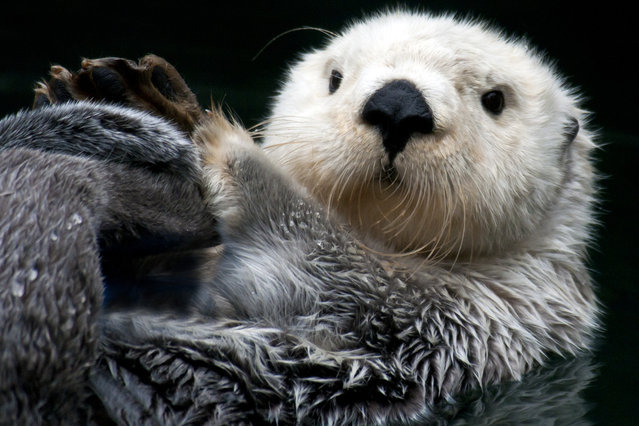 The Sea Otter