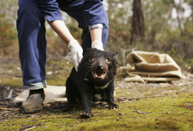 A Tasmanian Devil is released after being studied by Billie Lazenby of the Tasmanian Department of Primary Industries, Water and Environment after being captured in the wild to check for signs of the Devil Facial Tumor Disease October 10, 2005 near Fentonbury, Australia.   (Photo by Adam Pretty/Getty Images)