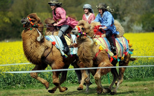 Camel racing made its debut in Paxford, Gloucestershire, England yesterday at a point-to-point event on April 22, 2019. Each of the four camels was sponsored by a local pub. (Photo by Paul Nicholls/The Times)