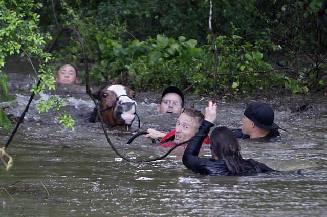 Justin Nelzen, in red vest, joins others as they work to rescue up to 70 horses along Cypresswood Drive near Humble along Cypress Creek, Monday, April 18, 2016, in Houston. (Photo by Mark Mulligan/Houston Chronicle via AP Photo)