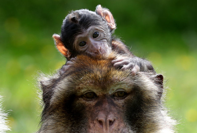 A young Barbary Macaque clings onto his mother, as staff at Blair Drummond Safari Park celebrate a baby boom with four primate births including two Barbary macaques, a critically endangered red ruffed Lemur and a ring tailed Lemur in Blair Drummond, Scotland on July 3, 2019. (Photo by Andrew Milligan/PA Images via Getty Images)