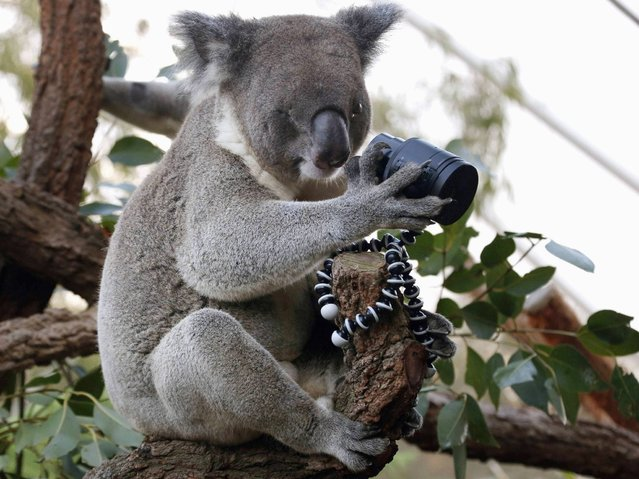 An Australian Koala, that was born with a damaged eye, looks at a camera as it sits atop a branch in its enclosure at Wild Life Sydney Zoo. (Photo by Reuters/David Gray)