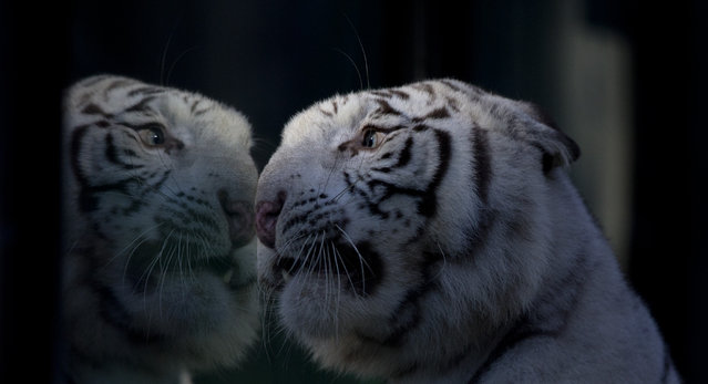 Cleo a white Bengal tiger looks through the glass of her enclosure at the Buenos Aires Zoo, Argentina, Wednesday, April 16, 2014. Cleo gave birth to the two females and one male white tiger cubs on Jan. 16, 2014. (Photo by Natacha Pisarenko/AP Photo)
