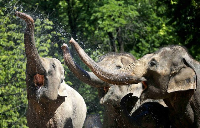 Elephants are sprayed with water at the Zoo in Berlin, Germany, July 3, 2015. (Photo by Fabrizio Bensch/Reuters)