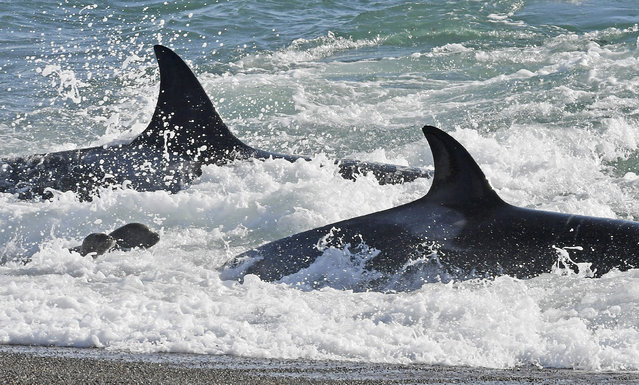 In this March 24, 2017 photo, killer whales prey on a young sea lions, left, in Punta Norte, Argentina. While rarely caught on camera, the predatory ritual occurs annually here in March and April, coinciding with the development of the sea lions when the young cubs are learning to swim. (Photo by Daniel Feldman/AP Photo)