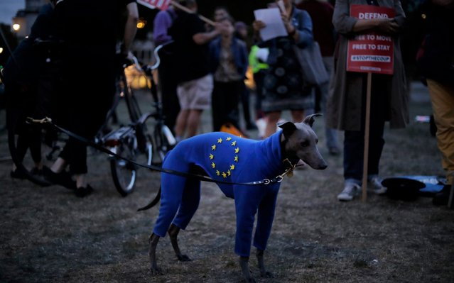 """A whippet named Seymour wears a jacket with the EU stars during a demonstration of remain compaigners on Parliament Square in London, Wednesday, September 4, 2019. With Britain's prime minister weakened by a major defeat in Parliament, defiant lawmakers were moving Wednesday to bar Boris Johnson from pursuing a """"no-deal"""" departure from the European Union. (Photo by Matt Dunham/AP Photo)"""