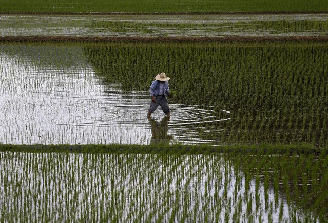 A farmer plants saplings in a rice field in Satsumasendai, Kagoshima prefecture, Japan, July 8, 2015. (Photo by Issei Kato/Reuters)