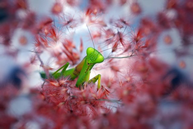 You rarely get the opportunity to get up close and personal with a tiny insect. Indonesian photographer Nordin Seruyan helps us to look past the creepy-crawlies of insects and focus on their delicate beauty. In brilliant color and sharp focus, Seruyan captures the insects in his garden. From butterflies and mantises to beetles and snails, the creatures of Southeast Asian get your full focus. (Photo by Nordin Seruyan)