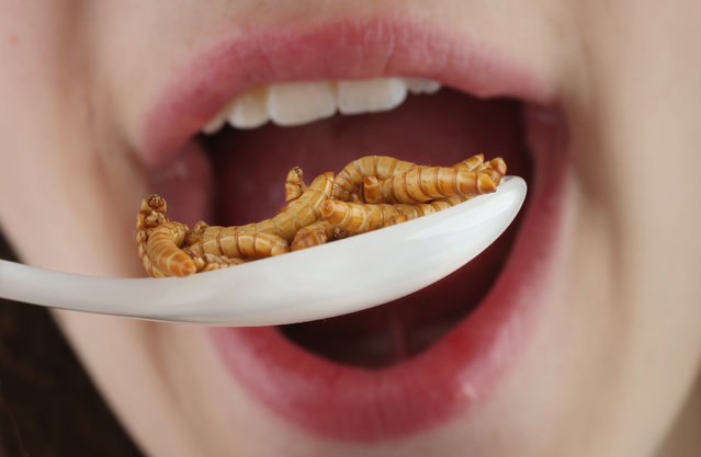 In this photo illustration a young girl pretends to eat dried mealworms seasoned with an African rub of cinnamon, coriander, pepper and other spices and bought at a store selling insects for human consumption on May 7, 2014 in Berlin, Germany. An increasing numbers of advocates worldwide are promoting insects as a viable source of food for humans, citing the high protein value, abundance and low cost. (Photo Illustraiton by Sean Gallup/Getty Images)