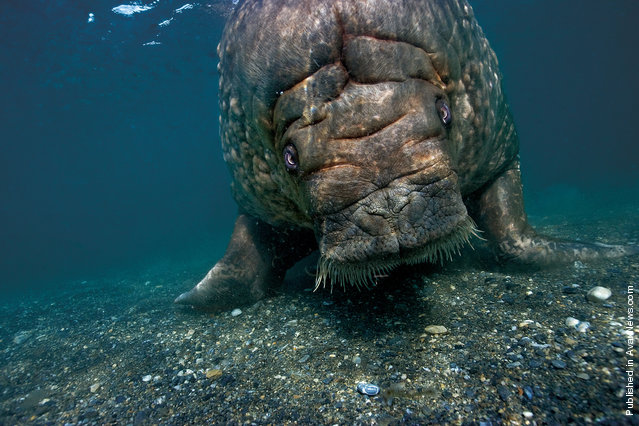 A large bull walrus returns to the shores of Prins Karl Forland after diving and feeding on clams
