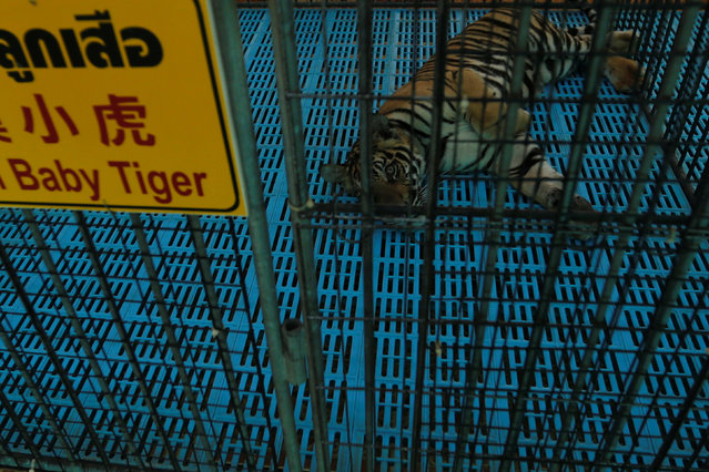 A tiger cub is seen in a cage at the Sriracha Tiger Zoo in the Chonburi province, Thailand, June 7, 2016. (Photo by Chaiwat Subprasom/Reuters)