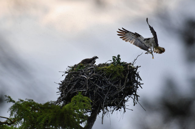 An Osprey brings a fish back to a nest at Loch Insh on June 6, 2016 in Kincraig, Scotland. Ospreys migrate each spring from Africa and nest in tall pine trees around the Aviemore area, the raptor was hunted to the point of extinction in the Victorian era, their migratory habits eventually brought them back to Scotland with the first successful breeding pair being recorded in 1954. (Photo by Jeff J. Mitchell/Getty Images)