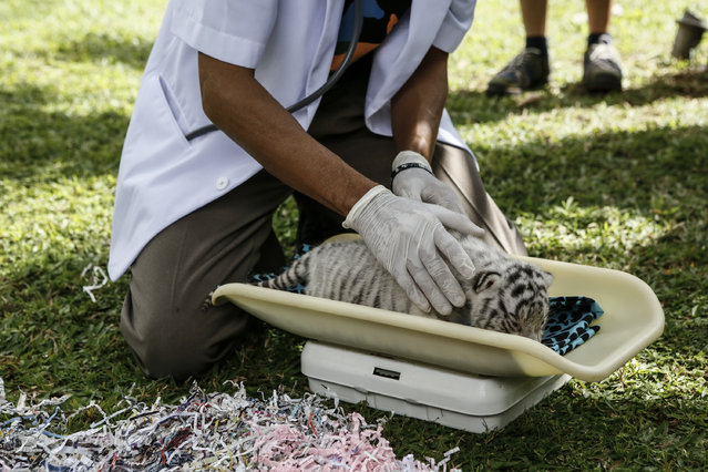 A veterinarian measures the weight of the new born Bengal tiger cub at Bali Zoo on August 12, 2015 in Gianyar, Bali, Indonesia. (Photo by Putu Sayoga/Getty Images)