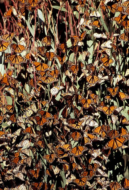 Thousands of Monarch butterflies rest on a tree in North America. (Photo by Jean Paul Ferrero/Ardea/Caters News)