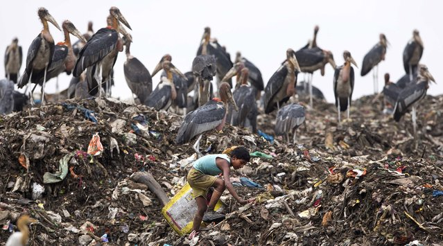 An Indian boy looks for recyclable materials near resting greater adjutant storks at a dumping site on the outskirts of in Gauhati, India, Friday, April 22, 2016. (Photo by Anupam Nath/AP Photo)
