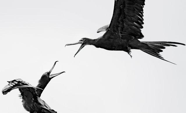 Youth winner | Great frigatebirds near Española, Galápagos Islands, Ecuador. (Photo by Carolina Anne Fraser/Audubon Photography Awards)