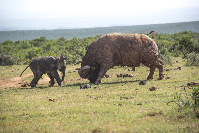 The buffalo bull charges, on March 23, 2014, in Addo Elephant National Park, South Africa. A young elephant calf tried to attack an old buffalo bull  and was taught a lesson it will never forget. (Photo by Conrad Cramer/Barcroft Media)