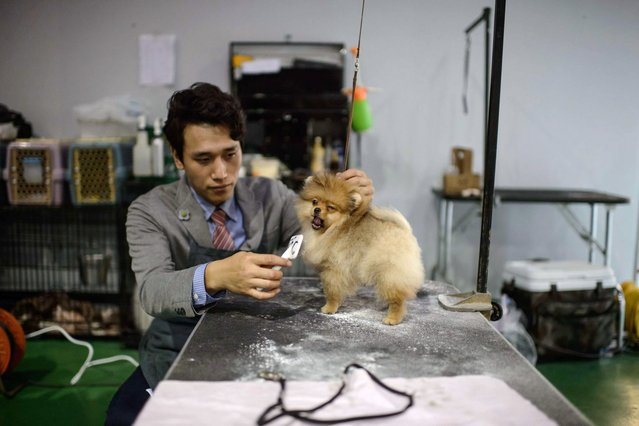 In a photo taken on August 30, 2014 a man brushes his dog as he waits to take part in a competition at a dog show in Seoul. (Photo by Ed Jones/AFP Photo)