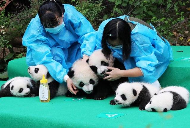 Chinese panda keepers hold giant panda cubs born in 2017 to be displayed during a public event at the Chengdu Research Base of Giant Panda Breeding in Chengdu city, southwest China's Sichuan province on September 29, 2017. 10 giant panda cubs born in 2017 met the public at the Chengdu Research Base of Giant Panda Breeding in Chengdu city, southwest China's Sichuan province, 29 September 2017, which attracted many visitors. A total of 11 giant panda cubs were born in 2017. With 184 captive giant pandas, the base is world's biggest center for giant pandas. (Photo by Reuters/China Stringer Network)