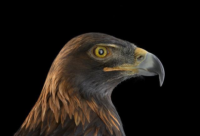 Golden eagle. (Photo by Brad Wilson)