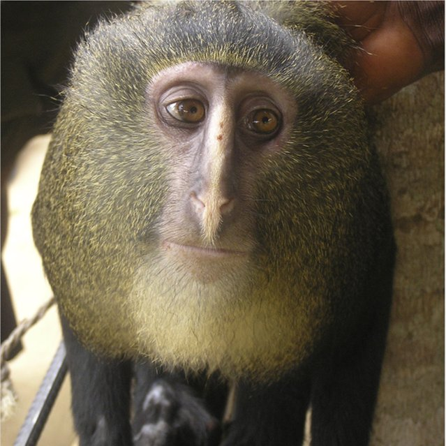 A new species of monkey found in the Democratic Republic of the Congo and identified as Lesula (Cercopithecus lomamiensis) is seen in this undated photograph from an article published September 12, 2012 in the science journal PLOS One. (Photo by Hart J. A., Detwiler K. M., Gilbert C. C./Reuters)
