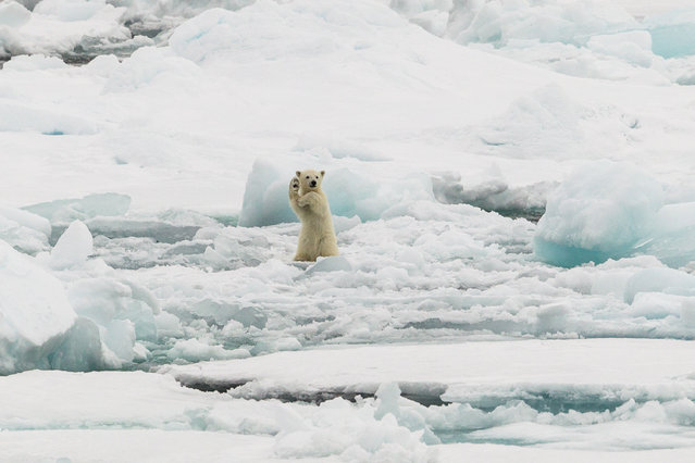 """""""Arctic Hi five"""". Two Polar bear cubs full of adrenaline on iceflow in Svalbard. The mother was just trying to have a quiet stroll but the cubs were not having any of that.This was the male cub and he just was so entertaining to watch. Photo location: Svalbard, Norwegian archipelago in the Arctic Ocean. (Photo and caption by Colin Mackenzie/National Geographic Photo Contest)"""
