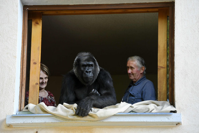 Pierre Thivillon (R), director of the zoological park of Saint-Martin-La-Plaine and his wife Eliane look at Digit, an 18-year-old female gorilla, on August 19, 2016, in Saint-Martin-La-Plaine between Lyon and Saint-Etienne, southeastern France. The zoological park of Saint-Martin-La-Plaine is a shelter for beasts seized by the justice. (Photo by Philippe Desmazes/AFP Photo)