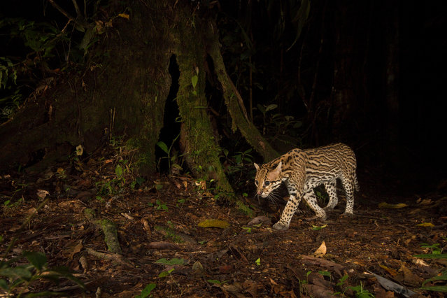 """The British Ecological Society has announced the winners of its annual photography competition, Capturing Ecology. Taken by international ecologists and students, the winning images will be exhibited at the society's joint annual meeting in Ghent in December. This year's overall winner is Christopher Beirne, from the University of Exeter and Crees Foundation, with his image of an ocelot taking advantage of human-made nature trails to stalk its prey in Peru. """"The photograph was taken in an area of land, which was completely cleared for agriculture 30-50 years ago. Documenting the wildlife that has returned as the forest has recovered was not only a real privilege, it has also changed my perspective on the value of degraded land in tropical areas"""". (Photo by Christopher Beirne/University of Exeter and Crees Foundation/British Ecological Society)"""