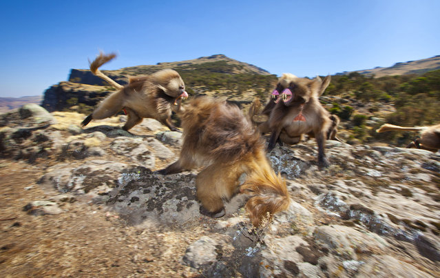"""Gelada Charge: Easily identified by their ""bleeding hearts"", Gelada baboons are endemic to the Ethiopian highlands and can be found in large troops foraging the grasslands of the Simien Mountains. Here, a group of three young males had infiltrated a group of females and begun grooming them. On detecting this intrusion the alpha male charged the interlopers, reasserting his dominance over them and protecting his harem"". (Photo and comment by Thomas Alexander/National Geographic Photo Contest via The Atlantic)"