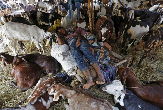 Traders sleep amid their goats at a livestock market ahead of the Eid al-Adha festival in the old quarters of Delhi, India, September 22, 2015. (Photo by Adnan Abidi/Reuters)